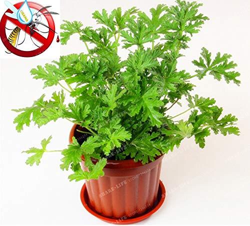 Ferry 100PCS Moskito Gras Bonsai-Hausgarten Pflanze Einfache Bepflanzung Indoor Garden & Home Bonsai Pelargonium graveolens Pflanze