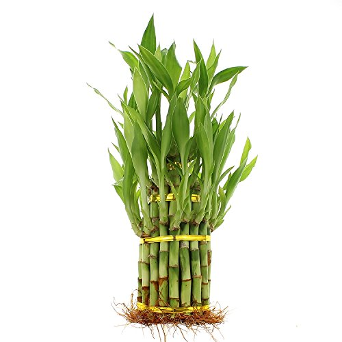 Live Lucky Bamboo 3 Tier Tower - 4, 6, and 8 Inch Lucky Stalks Indoor House Plant for Good Luck, Fortune, Feng Shui and Zen