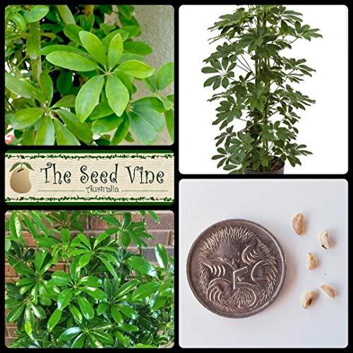 ASTONISH Semi Pacchetto: 20+ nani Semi Umbrella Tree (Schefflera arboricola) Tropical bonsai da interno