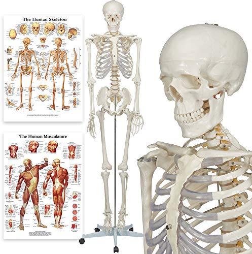 Buddy The Budget Skeleton - Human Skeleton Anatomical Model - Life Size 175 cm...