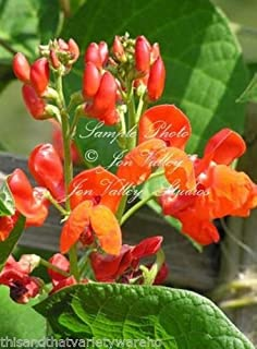 Scarlet Runner Pole Bean Seeds Attract Hummingbrds! Stunning Orange Red Blooms 20 Seeds