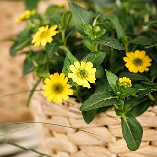 Pflanzen Kölle Husarenknöpfchen, 6er-Set, gelb,Topf 12 cm Ø