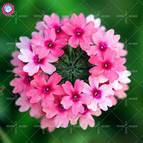Variété rare! 100 pcs / sac verveine graines plante herbacée hybride vivace en pot Maison et jardin 95% fleurs bonsaï taux de germination 4