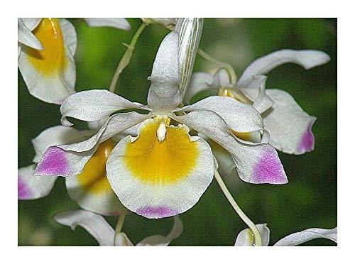 Dendrobium crystallinum - orchidées - 100 graines