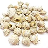 PEPPERLONELY Spurred Turban Hermit Crab Sea Shells, 8 OZ Apprx. 30~40 Shells, 3/4 Inch ~ 1-1/2 Inch