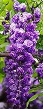 Best black dragon wisteria vine Reviews
