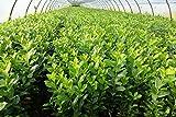 25st. Kirschlorbeer Novita 70-100cm reine Pflanzenhöhe Prunus laurocerasus Lorbeer Gartenhecke Sichtschutz normal wachsende Sorte Heckenpflanze