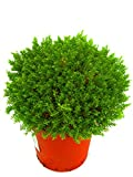 Hebe 'Green Globe' Strauchveronika 12 cm Topf immergrün winterhart