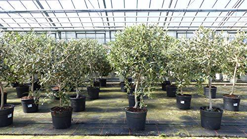 Olivenbaum buschiger Stamm Olive 90-110 cm hoch Olea Europaea