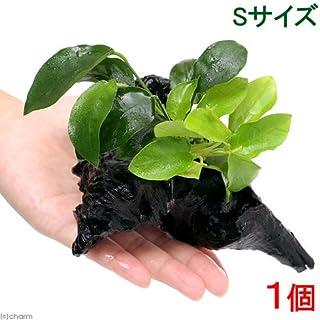 (水草)アヌビアスナナ&ゴールデン 流木付 Sサイズ(1本)(約15cm)