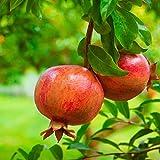 """Melograno da frutto""""Punica granatum Wonderful"""" pianta in vaso ø15 cm"""