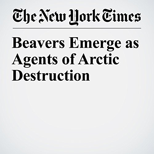 Beavers Emerge as Agents of Arctic Destruction copertina