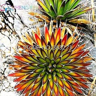 10pcs Crassula Capitella thyrsiflora Red Pagoda Sukkulente Kaktus Bonsai Jatropha Baum Kräuter Pflanzen Bonsai Mini-Topf Freies Verschiffen: Burgundy