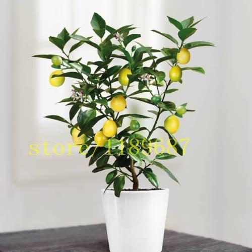 20 bonsaïs graines de citronnier, mini bonsaï fruit grandir rapide santé NO OGM pour les planteurs de pot de fleurs de corps