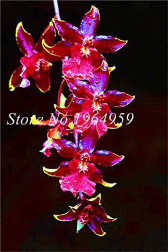 Shopmeeko Graines: Bonsai Multi-couleur de la fleur d'orchidée Fleurs 100 Pcs Potted/Mixed Bag Cymbidium Faberi Balcon Plante en pot pour jardin: 1