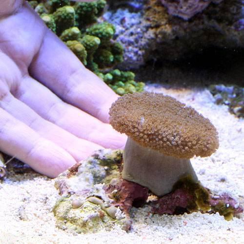 (海水魚 サンゴ)沖縄産 ウミキノコ ショートポリプ Sサイズ(1個) 本州・四国限定[生体]