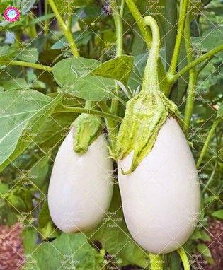 100pcs rond noir Aubergine Graines Heirloom légumes bio semences plantes non OGM pour le jardin bon goût riche en vitamines 3