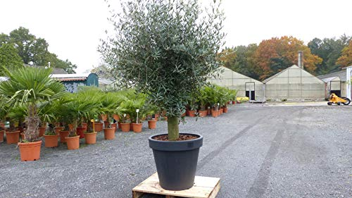 Olivenbaum 180-220 cm im Pflanzkübel anthrazit, 50 Jahre alt, Top-Qualität, winterharte Olive