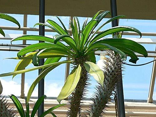 Pachypodium geayii – Palma madagascan – 10 semillas, fruta, flor, árbol, vid, arbusto, semillas