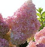 Hochstamm Rispenhortensie Sunday Fraise® 80-100cm - Hydrangea paniculata