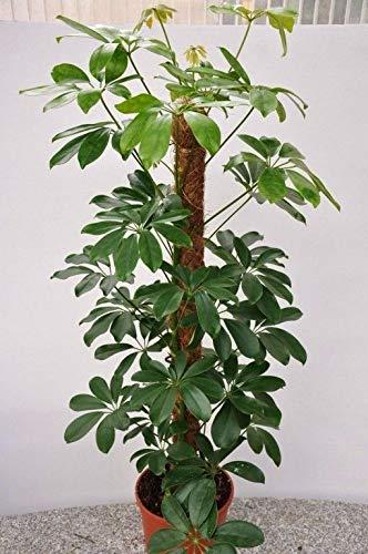 Portal Cool Dwarf Umbrella Tree Seeds Tropical Indoor/Outdoor Pflanze Schefflera arboricola