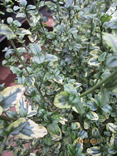 Ceanothus thyrsiflorus El Dorado -...