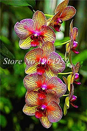 Shopmeeko Graines: Bonsai Multi-couleur de la fleur d'orchidée Fleurs 100 Pcs Potted/Mixed Bag Cymbidium Faberi Balcon Plante en pot pour jardin: 17