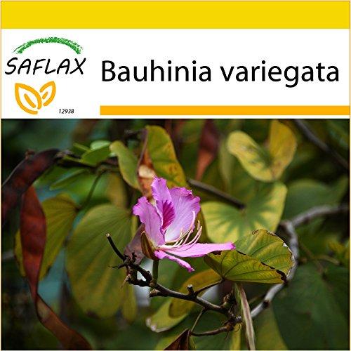 SAFLAX - Anzucht Set - Orchideen-Baum - 8 Samen - Mit Mini-Gewächshaus, Anzuchtsubstrat und 2 Töpfen - Bauhinia variegata