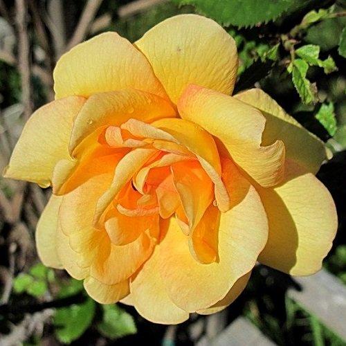 Kletterrose Maigold - Gelb & Winterhart | ClematisOnline Kletterpflanzen & Blumen