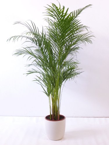 Goldfruchtpalme 130-150cm Chrysalidocarpus lutescens -
