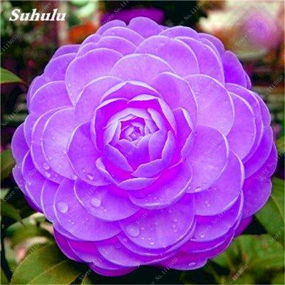 Grosses soldes! 10 Pcs Camellia Graines, Graines Bonsai Fleur, couleur rare, Pot de bonsaïs d'intérieur / extérieur des plantes pour jardin facile à cultiver 22