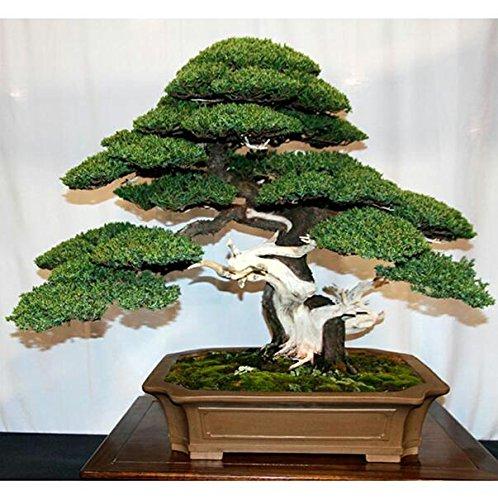 30 Wacholder Bonsai-Baum-Samen Topfblumen Büro Bonsai reinigen die Luft absorbieren schädliche Gase 5