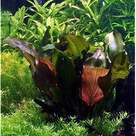 WFW wasserflora Kleine Rote Schwertpflanze, Echinodorus Reni
