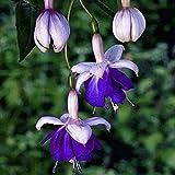 Acecoree Samen Haus- 50 stücke Giant Fuchsien Samen Selten Laterne Blumensamen winterhart mehrjährig Blumen Saatgut Zierblumen für Balkon/Garten