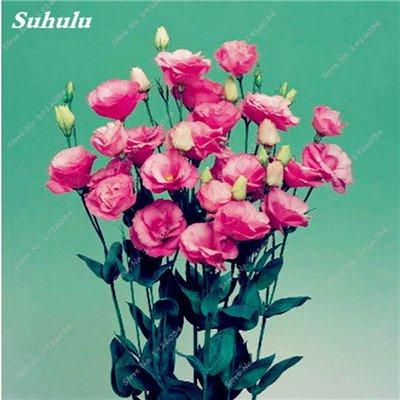 200 Pcs intérieur Bonsai Eustoma Graines vivaces plantes à fleurs Balcon Fleurs Graines Lisianthus en pot pour Planters Flower Pot 10