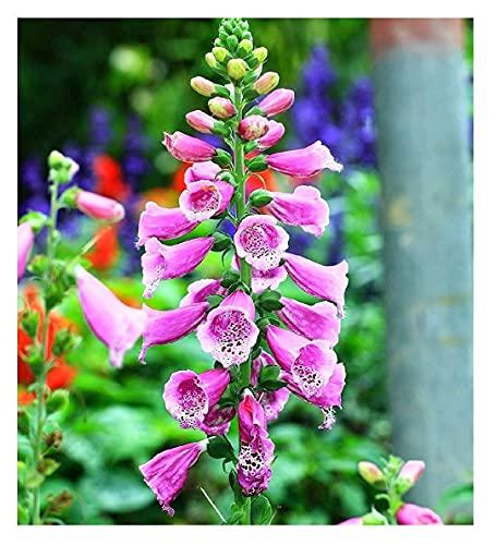 David's Garden Seeds Flower Native American Foxglove 8833 (Purple) 50 Non-GMO,...