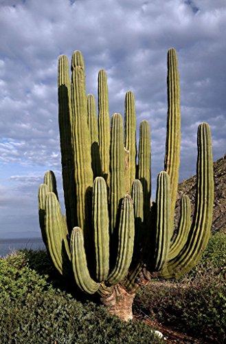 50 semillas Giant Cardon, pringlei Pachycereus