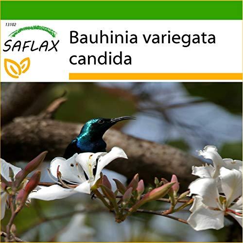 SAFLAX - Weißer Orchideenbaum - 5 Samen - Mit keimfreiem Anzuchtsubstrat - Bauhinia variegata candida