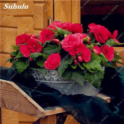 Nouveau! 150 Pcs Begonia Graines Bonsai Graines de fleurs Bonsai Maison & Jardin Flor Plantes en pot Purifier l'Office Air Bureau Fleurs 23