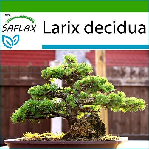 SAFLAX - Alerce europeo - 75 semillas - Con sustrato estéril para cultivo - Larix decidua