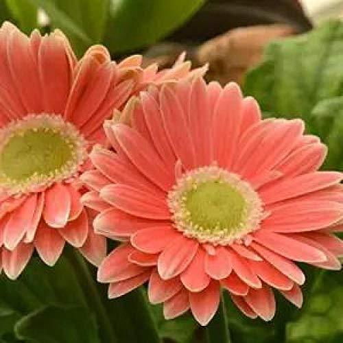 Fuduoduo Semillas De BonsáI En Macetas para,Planta fácil de Vivir Semillas de crisantemo africano-P200 pcs,Semillas De Plantas Verdes