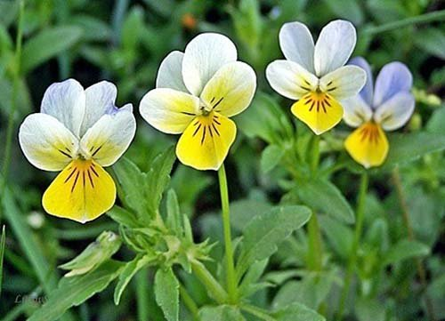 Acker-Stiefmütterchen - Viola arvensis - 200 Samen