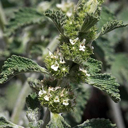 GETSO 25 g - Schutz wiederverschließbar: Samen für Andorn   Marrubium vulgare   Amkha Seed