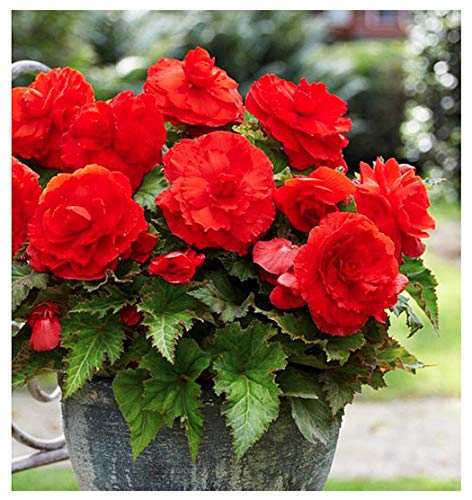 1 Superba Red Large Begonia Corm/Bulb - Beautiful in Ground or in Pots bur Not Cold Hardy