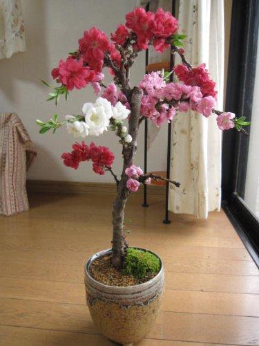 3色しだれ桃で お祝い  【鉢植え大】 【南京桃しだれ桃  】【桃】  豪華な三色桃の花   桃の花見で お祝いちなみに海外でも BONSAI