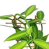 Zoom IMG-1 orchidea vaniglia xl vanilla planifolia