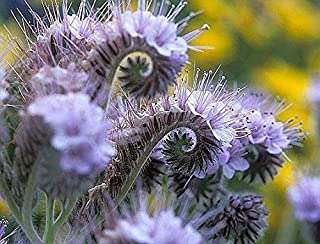 1000 Seeds Purple Tansy Fiddleneck Lacy Phacelia Flower Nectar Rich Bulk Flower Seeds #ELAV