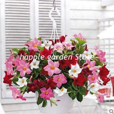 Ferry Neu! 100 Stück Kletter Mandevilla sanderi Dipladenia sanderi Bonsai Perennial Blumen Putdoor Topfpflanzen DIY Hausgarten: 14