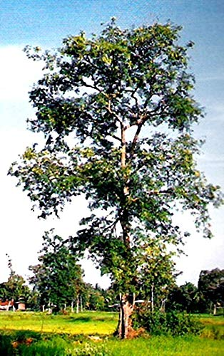 AGROBITS Uncle Chan * 10 graines Thaïlande siamois Rosewood Très rare Phayung dur Big C678