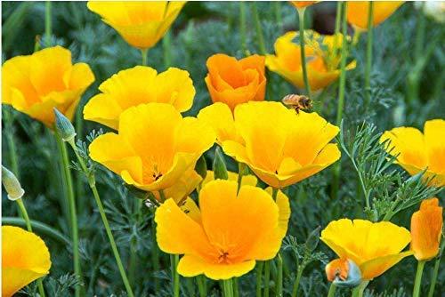 Graines de fleurs sauvages jaunes de Californie 50+ Orange (Eschscholtzia Californica) Bio facile à cultiver pour la plantation intérieure de jardin en plein air